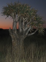 "A ""Quiver Tree"" at sunset"