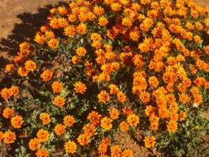Beetle Daisy in the Karoo